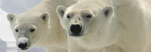 Polar bears on the lookout
