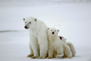 mother bear and two cubs on snowy coast