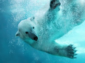 polar bear diving into the rwater under the ice